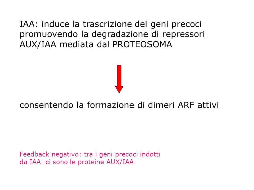 IAA: induce la trascrizione dei geni precoci promuovendo la degradazione di repressori AUX/IAA mediata dal PROTEOSOMA consentendo la formazione di dim
