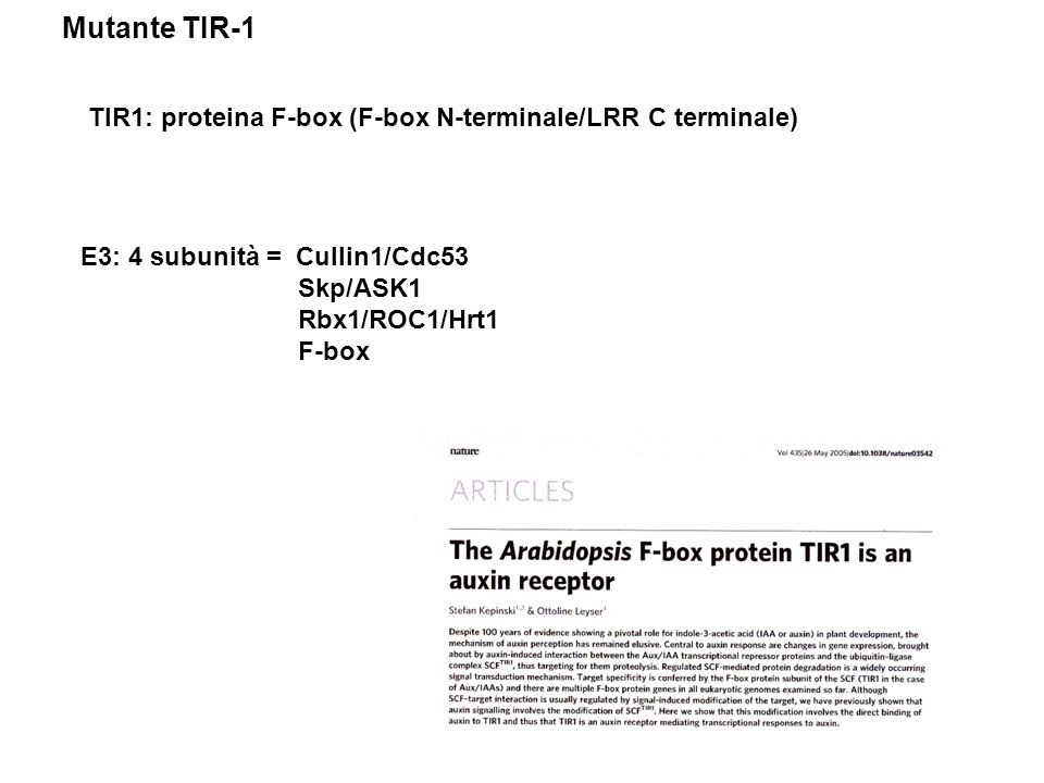 TIR1: proteina F-box (F-box N-terminale/LRR C terminale) E3: 4 subunità = Cullin1/Cdc53 Skp/ASK1 Rbx1/ROC1/Hrt1 F-box Mutante TIR-1