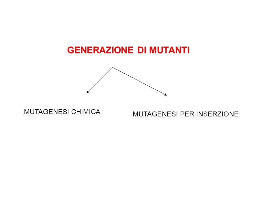 GENERAZIONE DI MUTANTI MUTAGENESI CHIMICA MUTAGENESI PER INSERZIONE