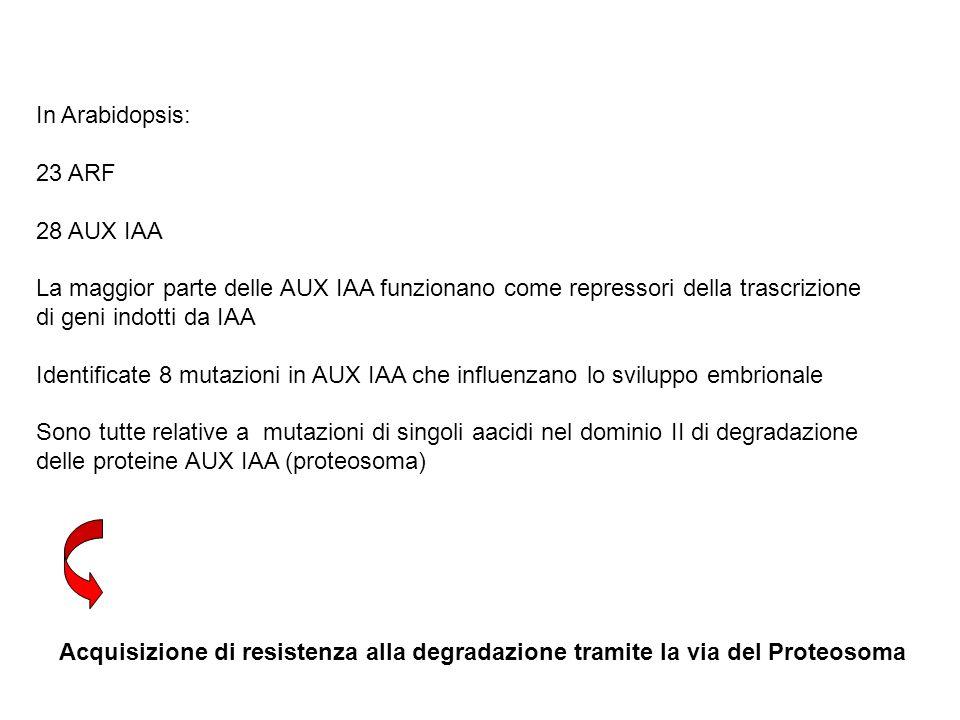In Arabidopsis: 23 ARF 28 AUX IAA La maggior parte delle AUX IAA funzionano come repressori della trascrizione di geni indotti da IAA Identificate 8 m