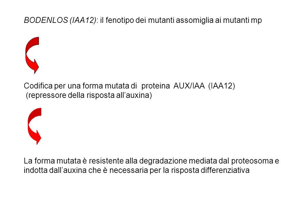 BODENLOS (IAA12): il fenotipo dei mutanti assomiglia ai mutanti mp Codifica per una forma mutata di proteina AUX/IAA (IAA12) (repressore della rispost