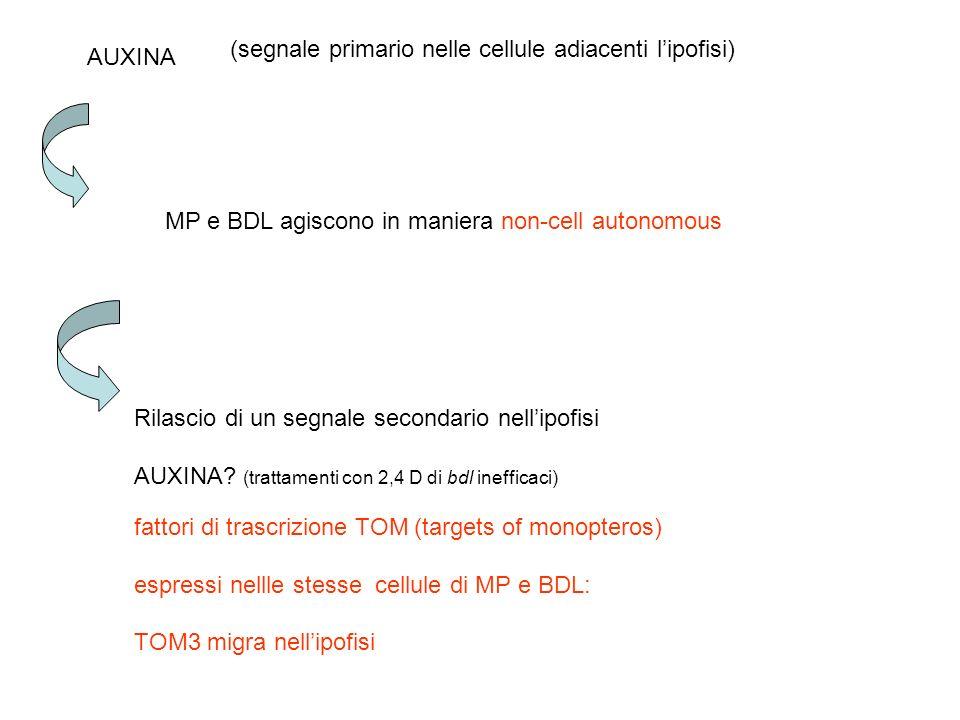 MP e BDL agiscono in maniera non-cell autonomous AUXINA (segnale primario nelle cellule adiacenti lipofisi) Rilascio di un segnale secondario nellipof