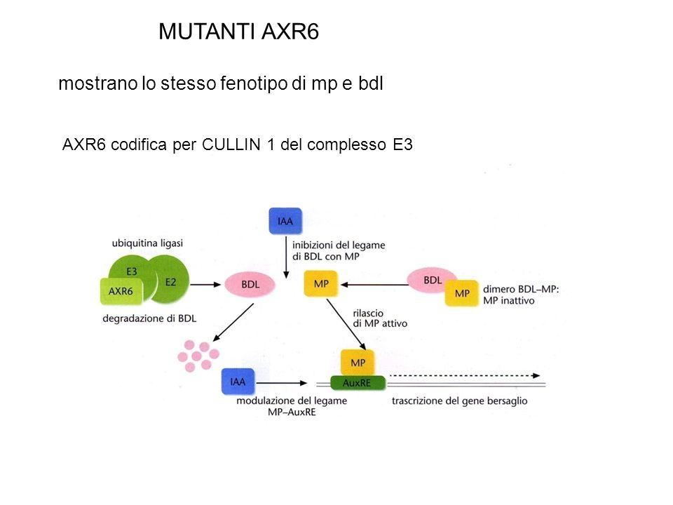 MUTANTI AXR6 mostrano lo stesso fenotipo di mp e bdl AXR6 codifica per CULLIN 1 del complesso E3