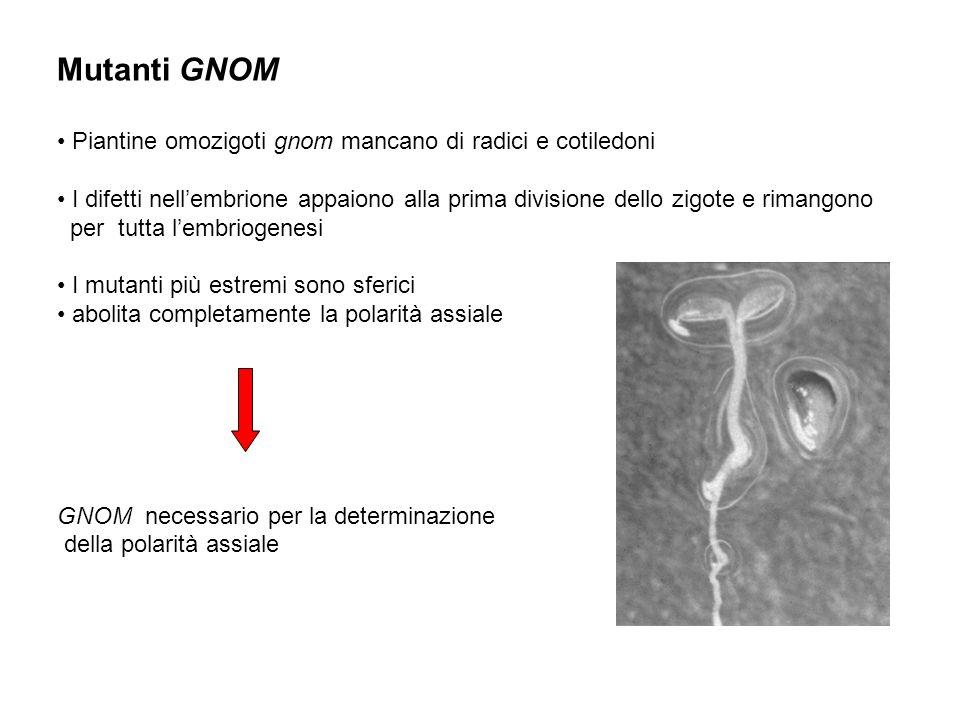 Mutanti GNOM Piantine omozigoti gnom mancano di radici e cotiledoni I difetti nellembrione appaiono alla prima divisione dello zigote e rimangono per