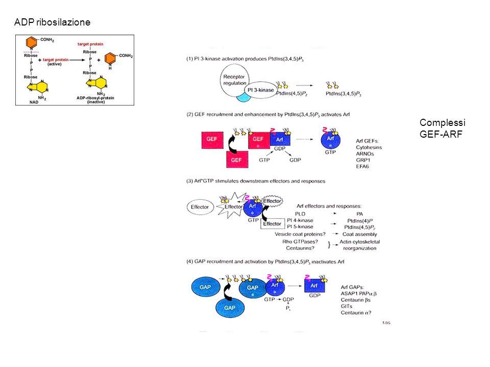 Complessi GEF-ARF ADP ribosilazione