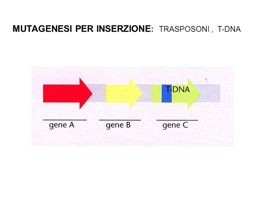 MUTAGENESI PER INSERZIONE : TRASPOSONI, T-DNA