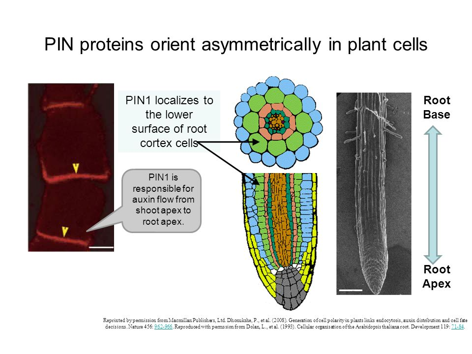 PIN proteins orient asymmetrically in plant cells Reprinted by permission from Macmillan Publishers, Ltd. Dhonukshe, P., et al. (2008). Generation of