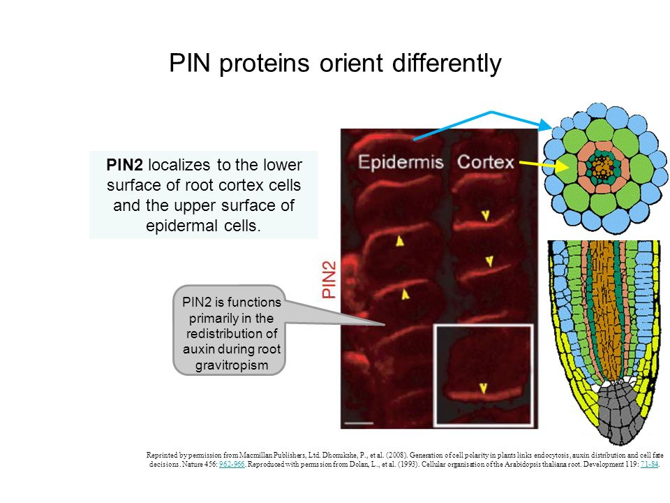 PIN proteins orient differently PIN2 localizes to the lower surface of root cortex cells and the upper surface of epidermal cells. Reprinted by permis