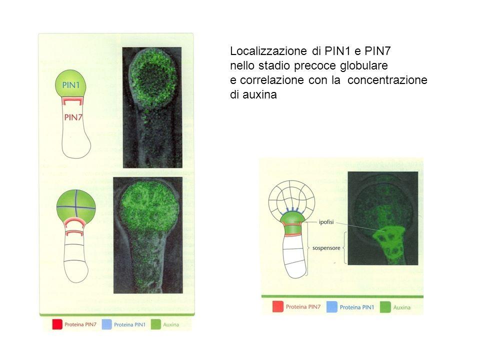 Localizzazione di PIN1 e PIN7 nello stadio precoce globulare e correlazione con la concentrazione di auxina
