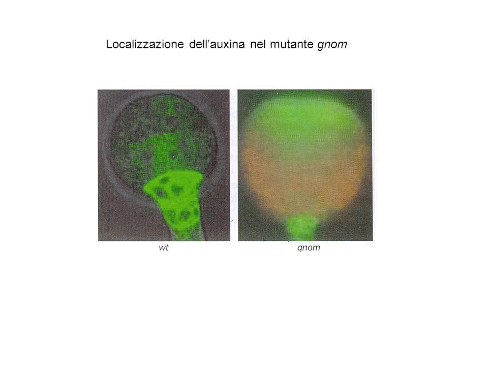 Localizzazione dellauxina nel mutante gnom