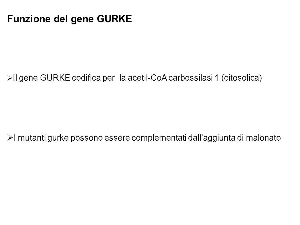 Funzione del gene GURKE Il gene GURKE codifica per la acetil-CoA carbossilasi 1 (citosolica) I mutanti gurke possono essere complementati dallaggiunta