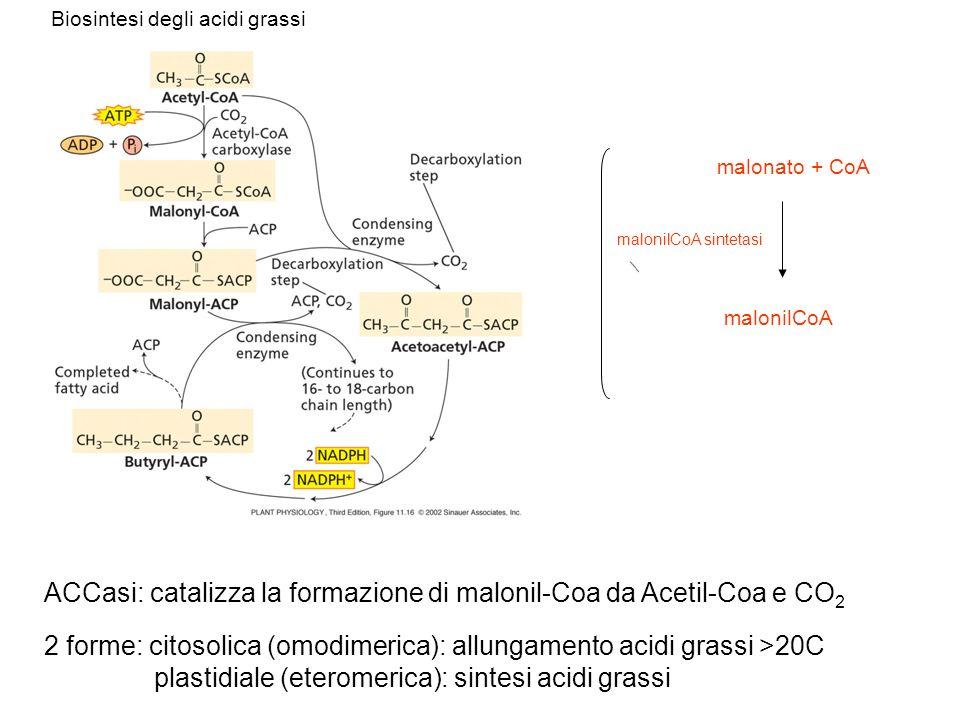 ACCasi: catalizza la formazione di malonil-Coa da Acetil-Coa e CO 2 2 forme: citosolica (omodimerica): allungamento acidi grassi >20C plastidiale (ete