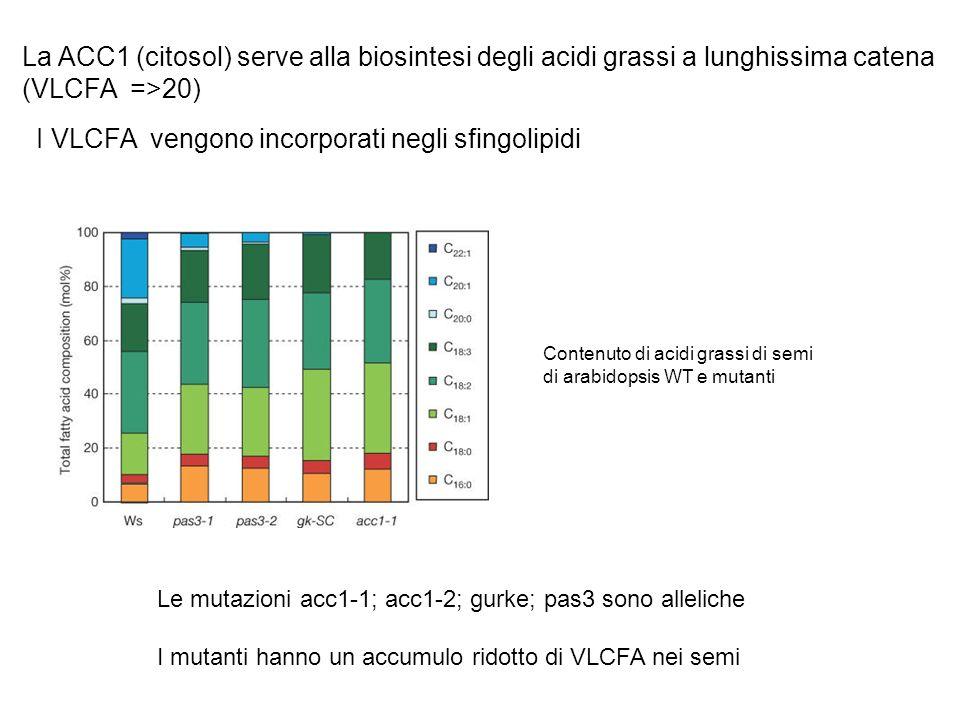 I VLCFA vengono incorporati negli sfingolipidi La ACC1 (citosol) serve alla biosintesi degli acidi grassi a lunghissima catena (VLCFA =>20) Contenuto