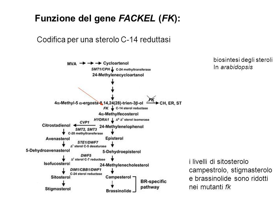 Funzione del gene FACKEL (FK): Codifica per una sterolo C-14 reduttasi biosintesi degli steroli In arabidopsis i livelli di sitosterolo campestrolo, s