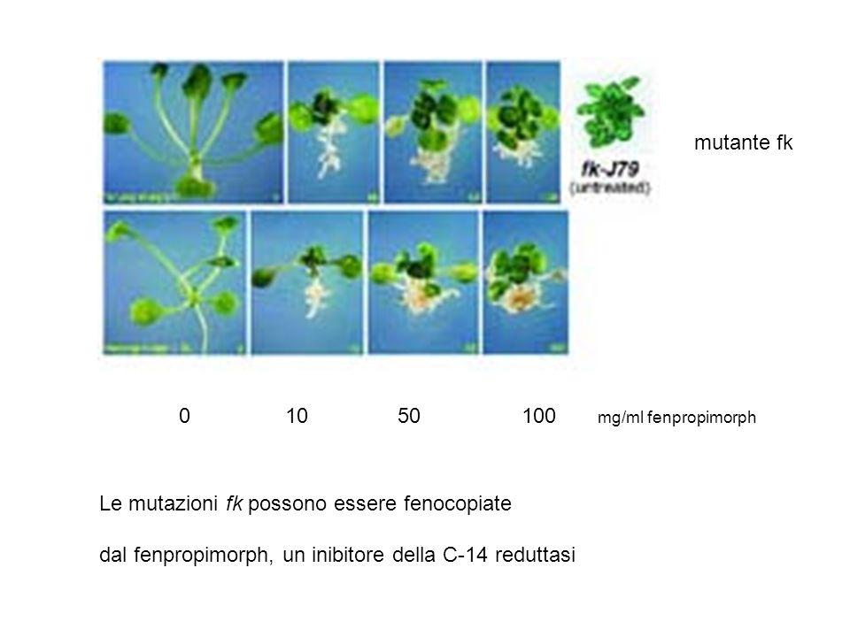 0 10 50 100 mg/ml fenpropimorph mutante fk Le mutazioni fk possono essere fenocopiate dal fenpropimorph, un inibitore della C-14 reduttasi