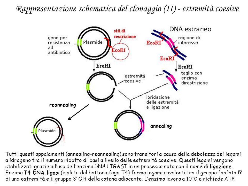 annealing reannealing Tutti questi appaiamenti (annealing-reannealing) sono transitori a causa della debolezza dei legami a idrogeno tra il numero rid