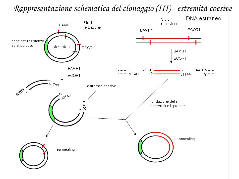 Rappresentazione schematica del clonaggio (III) - estremità coesive