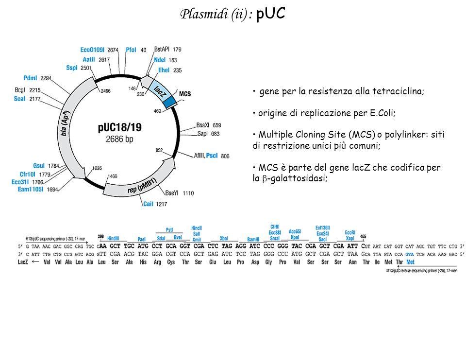 Plasmidi (ii) : pUC gene per la resistenza alla tetraciclina; origine di replicazione per E.Coli; Multiple Cloning Site (MCS) o polylinker: siti di re