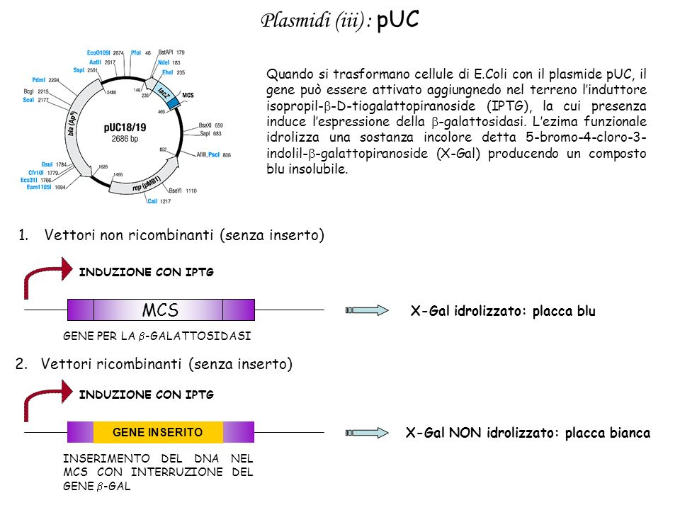 Plasmidi (iii) : pUC Quando si trasformano cellule di E.Coli con il plasmide pUC, il gene può essere attivato aggiungnedo nel terreno linduttore isopr