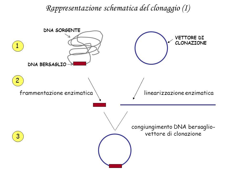 DNA SORGENTE DNA BERSAGLIO VETTORE DI CLONAZIONE 1 frammentazione enzimaticalinearizzazione enzimatica 2 3 congiungimento DNA bersaglio- vettore di cl