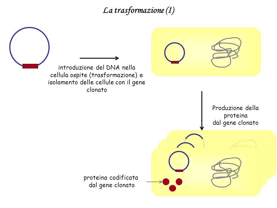 introduzione del DNA nella cellula ospite (trasformazione) e isolamento delle cellule con il gene clonato proteina codificata dal gene clonato Produzi