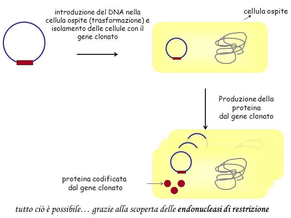introduzione del DNA nella cellula ospite (trasformazione) e isolamento delle cellule con il gene clonato cellula ospite proteina codificata dal gene