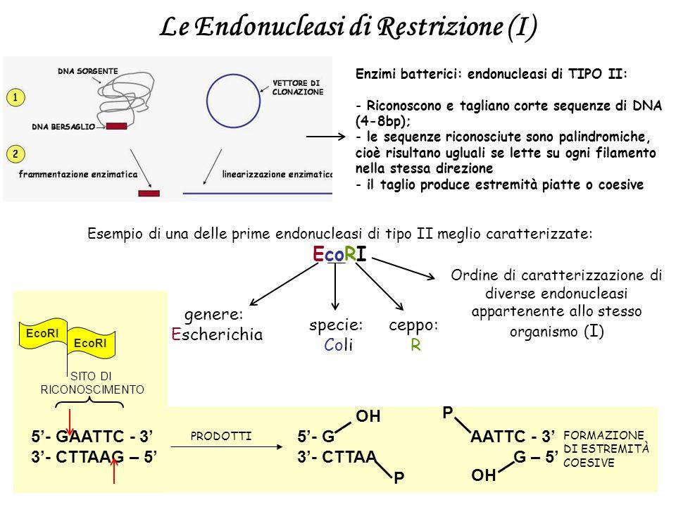 5- GAATTC - 3 3- CTTAAG – 5 SITO DI RICONOSCIMENTO EcoRI Le Endonucleasi di Restrizione (I) Enzimi batterici: endonucleasi di TIPO II: - Riconoscono e