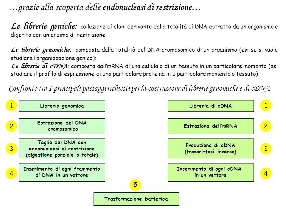Sommario delle fasi importanti nella clonazione del DNA 1.Vettore plasmidico e DNA esogeno da inserire devono avere estremità compatibili.