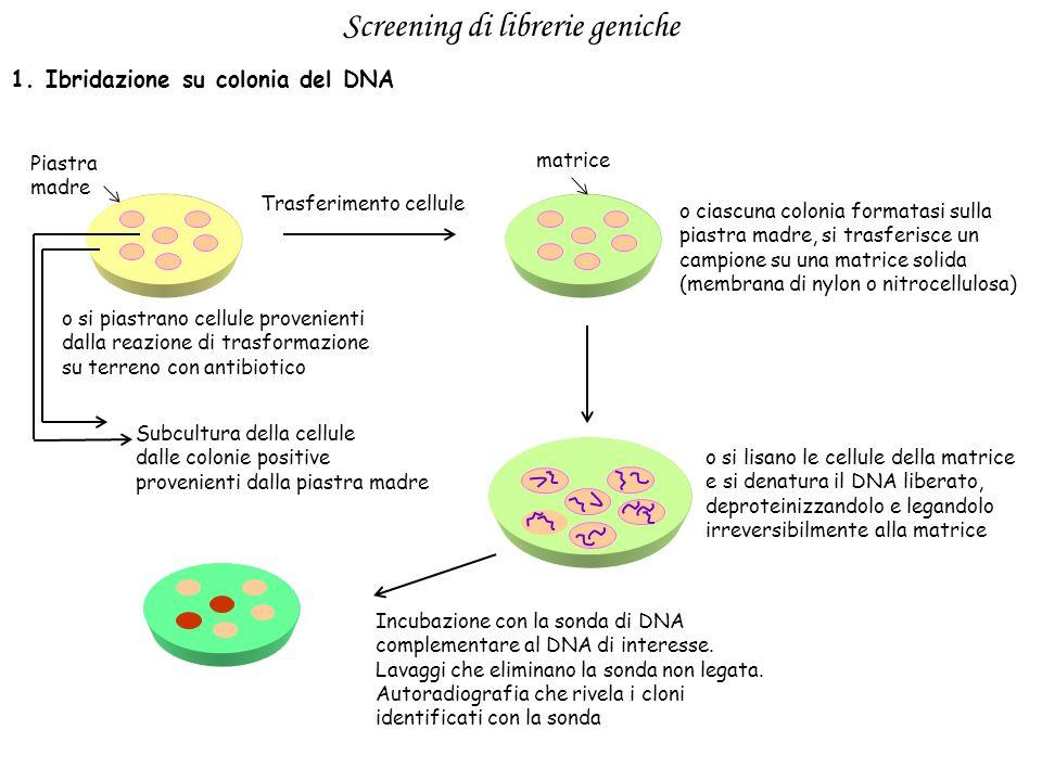 Screening di librerie geniche 1. Ibridazione su colonia del DNA o si piastrano cellule provenienti dalla reazione di trasformazione su terreno con ant