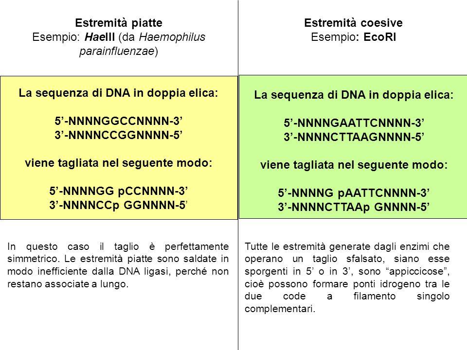 Estremità piatte Esempio: HaeIII (da Haemophilus parainfluenzae) La sequenza di DNA in doppia elica: 5-NNNNGGCCNNNN-3 3-NNNNCCGGNNNN-5 viene tagliata