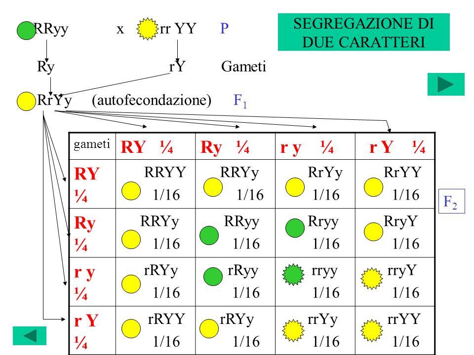 SEGREGAZIONE DI DUE CARATTERI gameti RY ¼Ry ¼r y ¼ r Y ¼ RY ¼ RRYY 1/16 RRYy 1/16 RrYy 1/16 RrYY 1/16 Ry ¼ RRYy 1/16 RRyy 1/16 Rryy 1/16 RryY 1/16 r y