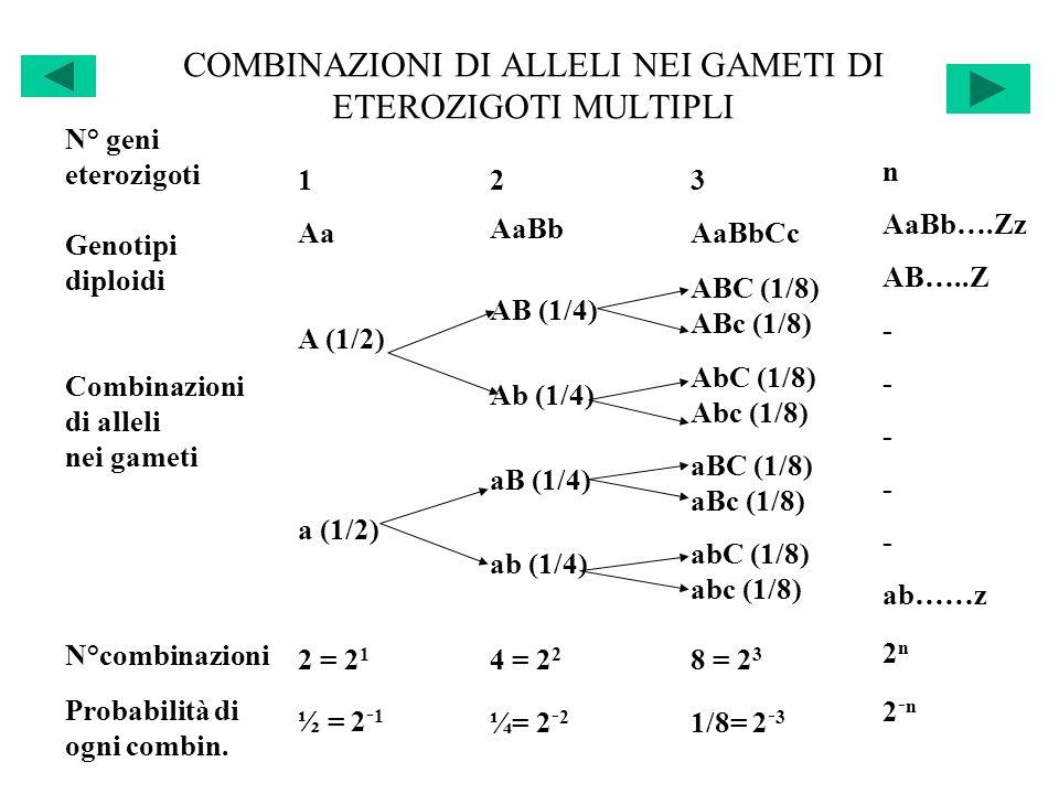 COMBINAZIONI DI ALLELI NEI GAMETI DI ETEROZIGOTI MULTIPLI N° geni eterozigoti Genotipi diploidi Combinazioni di alleli nei gameti N°combinazioni Proba