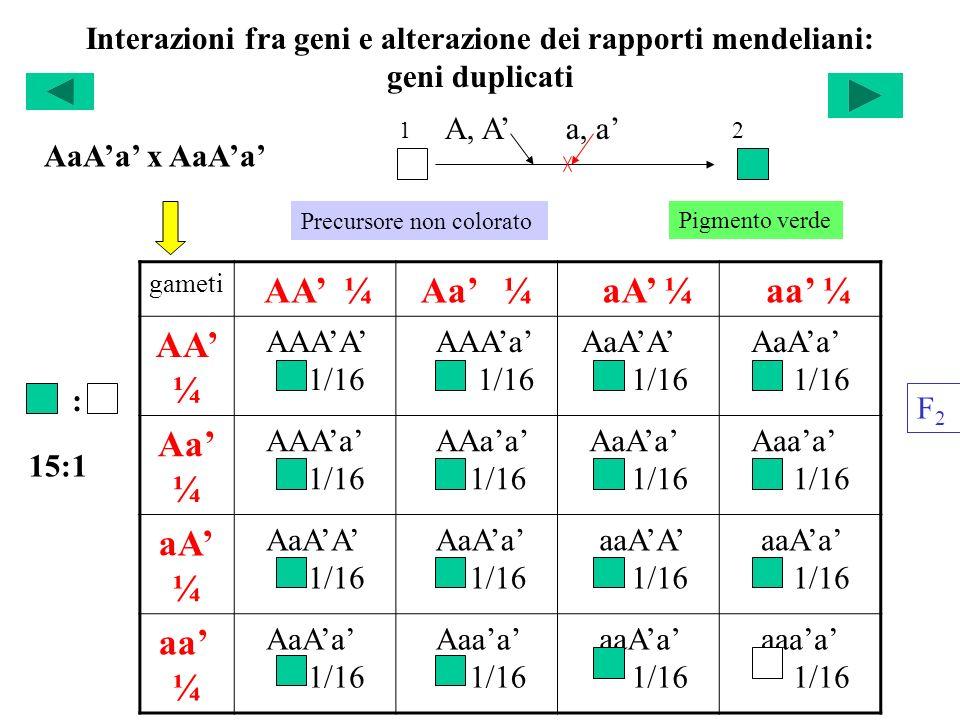 Interazioni fra geni e alterazione dei rapporti mendeliani: geni duplicati gameti AA ¼Aa ¼ aA ¼ aa ¼ AA ¼ AAAA 1/16 AAAa 1/16 AaAA 1/16 AaAa 1/16 Aa ¼