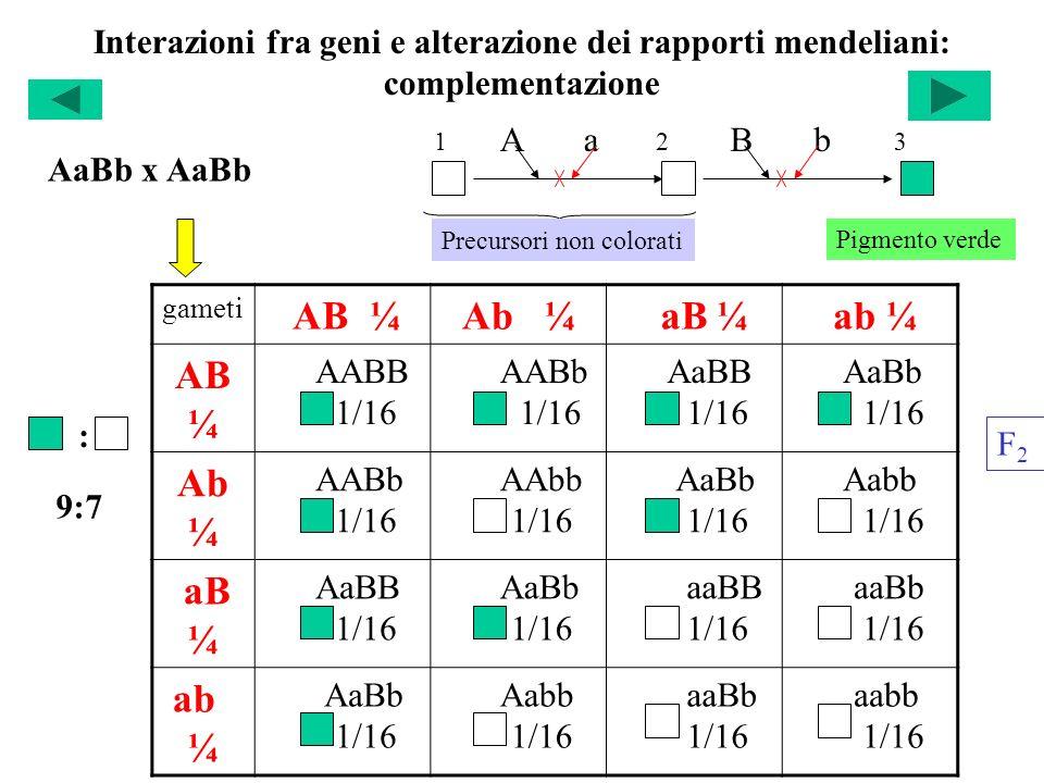 Interazioni fra geni e alterazione dei rapporti mendeliani: complementazione gameti AB ¼Ab ¼ aB ¼ ab ¼ AB ¼ AABB 1/16 AABb 1/16 AaBB 1/16 AaBb 1/16 Ab