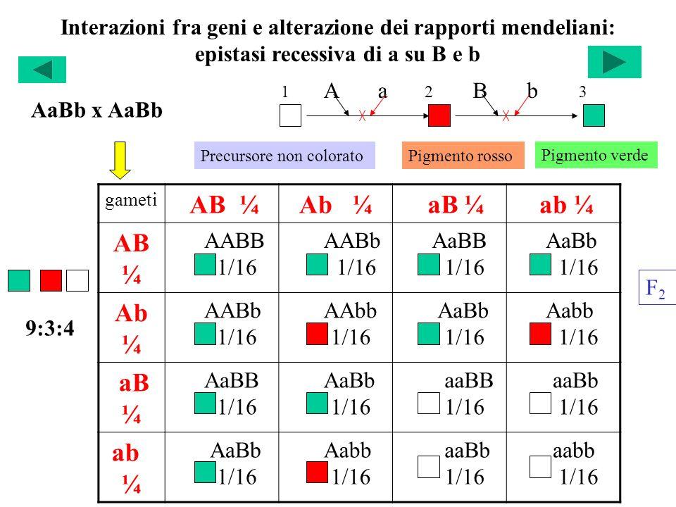 Interazioni fra geni e alterazione dei rapporti mendeliani: epistasi recessiva di a su B e b gameti AB ¼Ab ¼ aB ¼ ab ¼ AB ¼ AABB 1/16 AABb 1/16 AaBB 1