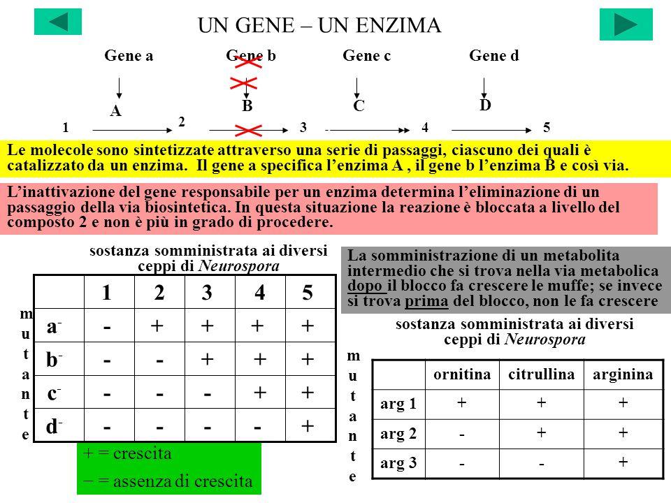 UN GENE – UN ENZIMA 1345 BC D Le molecole sono sintetizzate attraverso una serie di passaggi, ciascuno dei quali è catalizzato da un enzima. Il gene a
