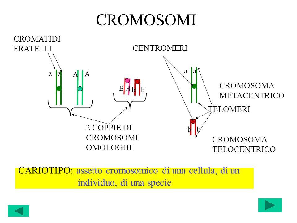 CROMOSOMI CROMOSOMA METACENTRICO A A a b B 2 COPPIE DI CROMOSOMI OMOLOGHI CROMATIDI FRATELLI CENTROMERI a b TELOMERI CROMOSOMA TELOCENTRICO CARIOTIPO: