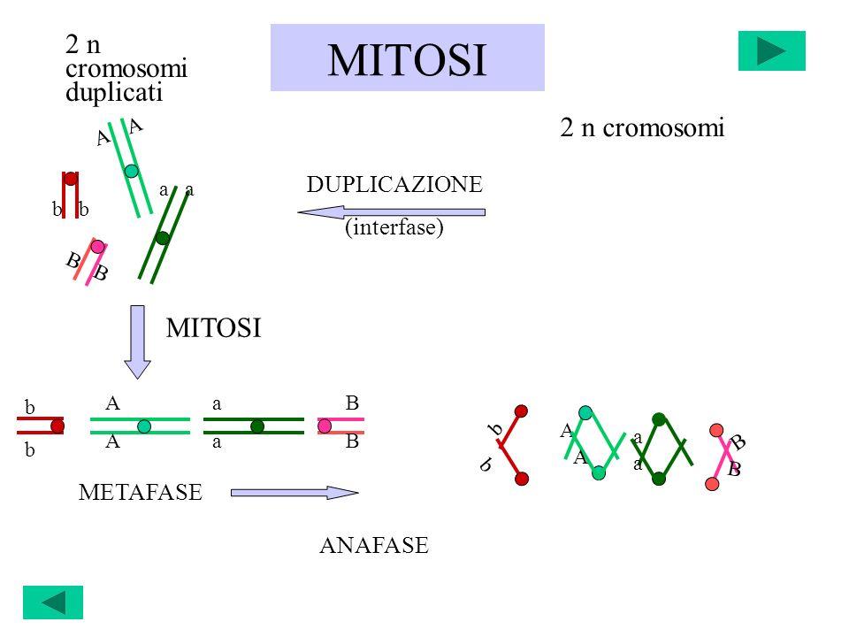 MITOSI b b A A a a B B bbbb AAAA aaaa BBBB METAFASE A a b B MITOSI DUPLICAZIONE (interfase) 2 n cromosomi duplicati 2 n cromosomi ANAFASE