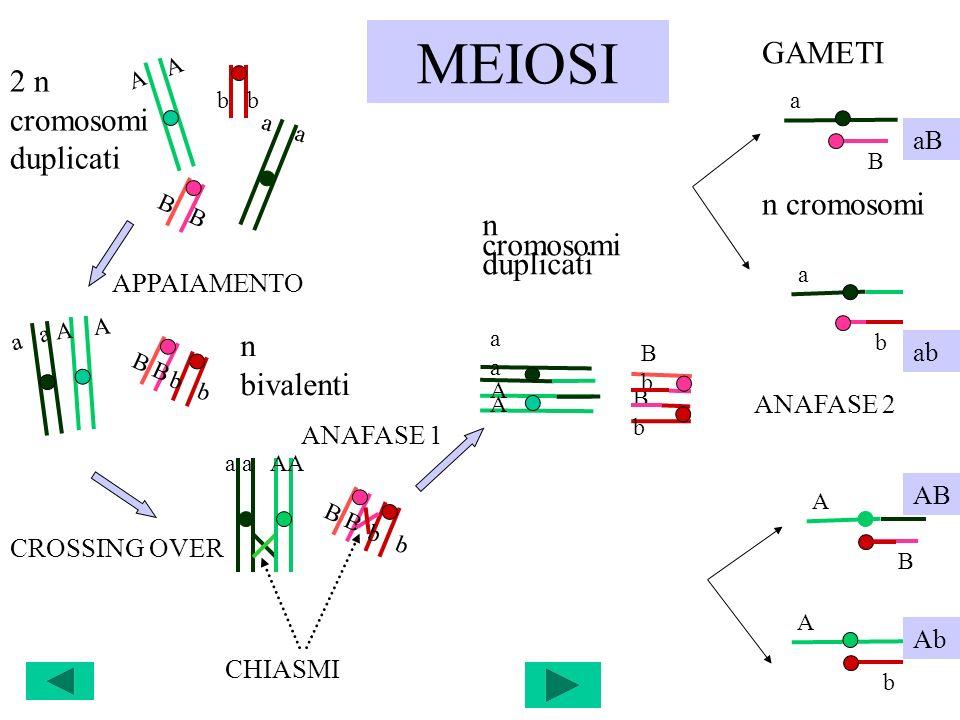 MEIOSI A a a b B b b B CROSSING OVER AA AA BbBb aaaa BbBb a AA CHIASMI APPAIAMENTO 2 n cromosomi duplicati a A A b B n bivalenti ANAFASE 1 GAMETI a B