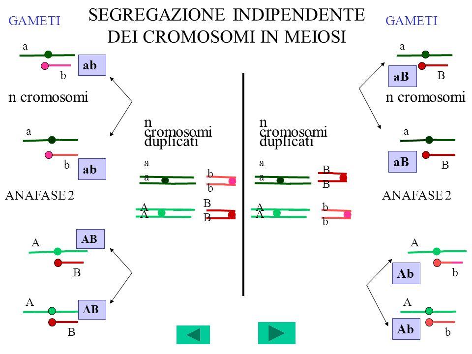 SEGREGAZIONE INDIPENDENTE DEI CROMOSOMI IN MEIOSI n cromosomi duplicati aaaa bbbb aaaa BBBB BBBB AA AA AA AA bbbb ANAFASE 2 GAMETI a b ab a b A B AB A