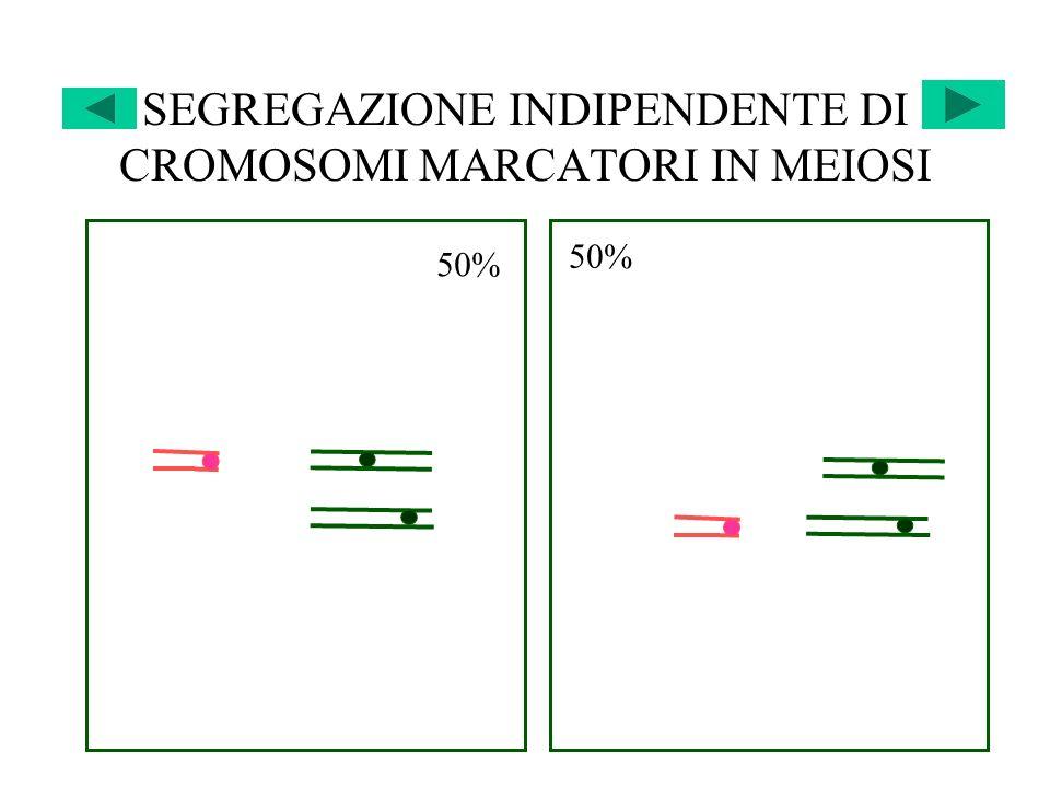 SEGREGAZIONE INDIPENDENTE DI CROMOSOMI MARCATORI IN MEIOSI 50%