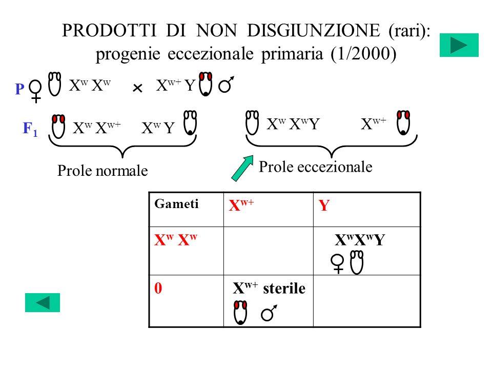 PRODOTTI DI NON DISGIUNZIONE (rari): progenie eccezionale primaria (1/2000) Gameti X w+ Y X w X w X w X w+ LETALE X w X w Y 0 X w+ sterile Y LETALE P