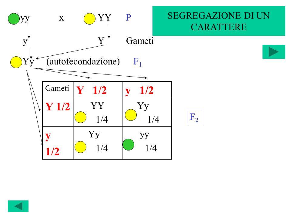 Gameti Y 1/2y 1/2 Y 1/2 YY 1/4 Yy 1/4 y 1/2 Yy 1/4 yy 1/4 yy x YY P y Y Gameti Yy (autofecondazione) F 1 F2F2 SEGREGAZIONE DI UN CARATTERE
