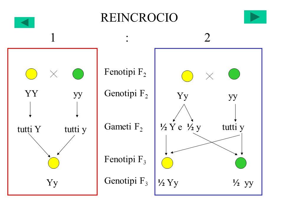 REINCROCIO ½ Yy ½ yy Yy Fenotipi F 2 Genotipi F 2 Gameti F 2 Fenotipi F 3 Genotipi F 3 YY yy Yy yy 1 : 2 tutti Y tutti y ½ Y e ½ y tutti y