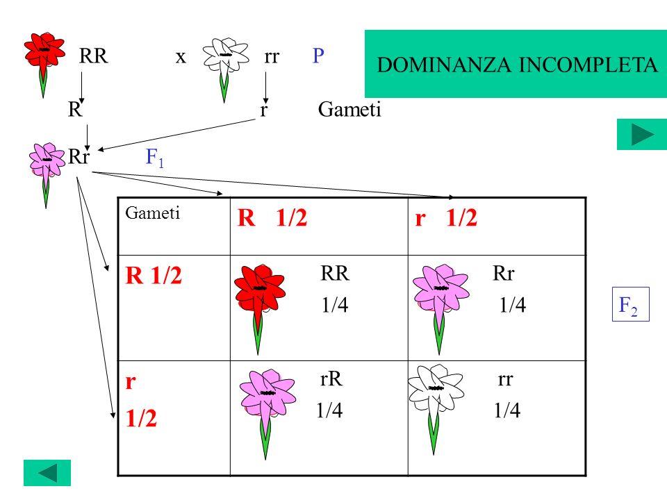 SEGREGAZIONE DI UN CARATTERE Gameti R 1/2r 1/2 R 1/2 RR 1/4 Rr 1/4 r 1/2 rR 1/4 rr 1/4 RR x rr P R r Gameti Rr F 1 F2F2 DOMINANZA INCOMPLETA