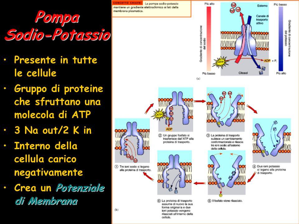 PompaSodio-Potassio Presente in tutte le cellule Gruppo di proteine che sfruttano una molecola di ATP 3 Na out/2 K in Interno della cellula carico neg