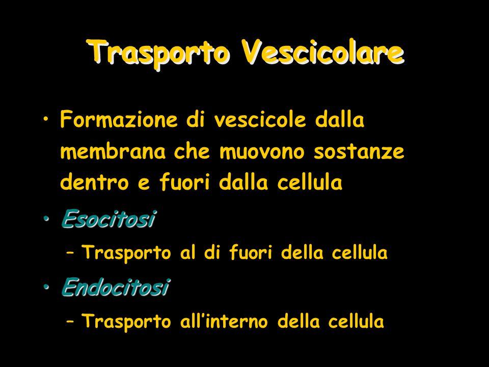 Trasporto Vescicolare Formazione di vescicole dalla membrana che muovono sostanze dentro e fuori dalla cellula EsocitosiEsocitosi –Trasporto al di fuo