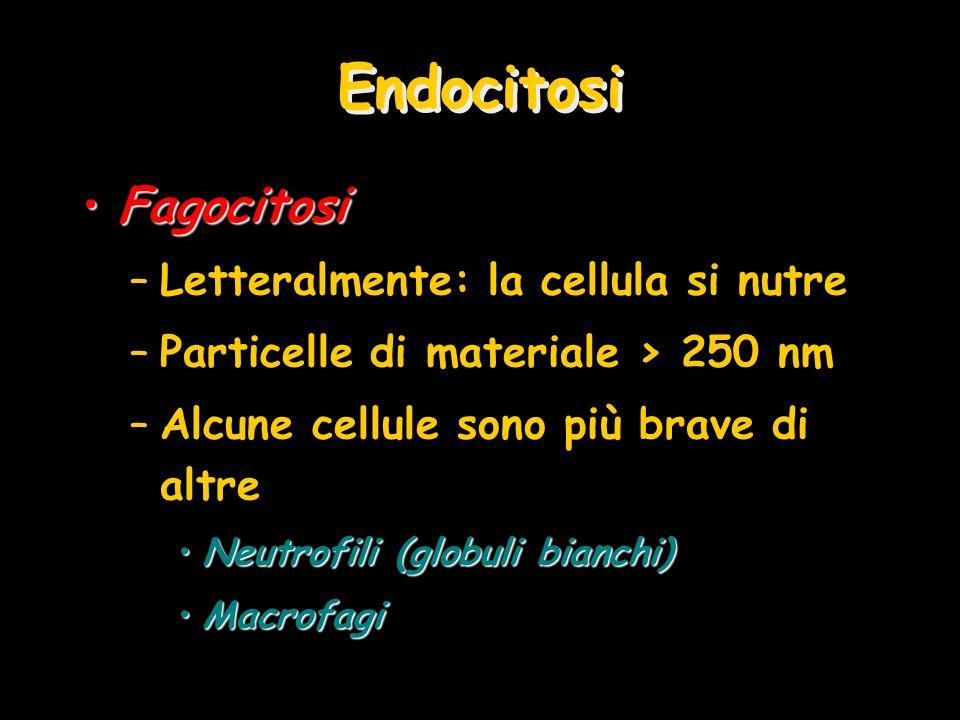 Endocitosi FagocitosiFagocitosi –Letteralmente: la cellula si nutre –Particelle di materiale > 250 nm –Alcune cellule sono più brave di altre Neutrofi