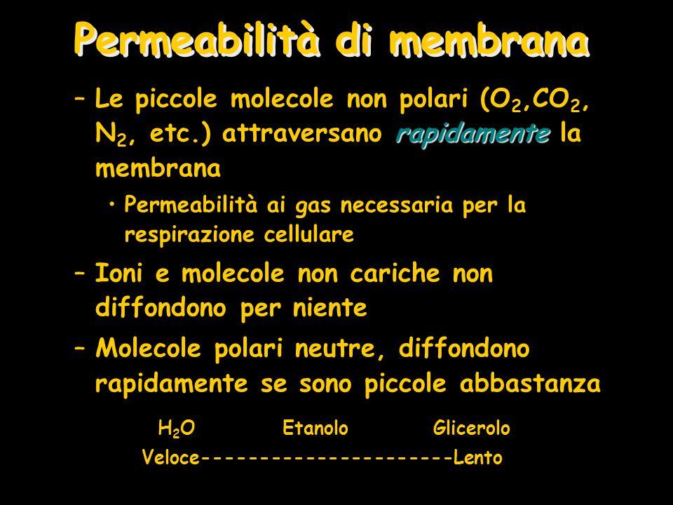 Permeabilità di membrana rapidamente –Le piccole molecole non polari (O 2,CO 2, N 2, etc.) attraversano rapidamente la membrana Permeabilità ai gas ne