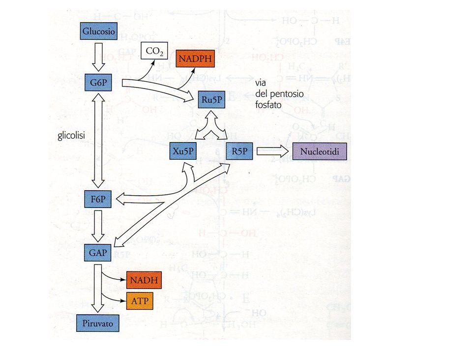 DIVERSE NECESSITA METABOLICHE - SERVE NADPH e RIBOSIO - SERVE NADPH via della gluconeogenesi (GADP G6P) - SERVE RIBOSIO equilibrio fra zuccheri-P - SERVE NADPH e ATP via pentoso-P e glicolisi